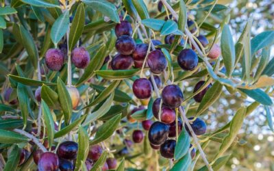 Raccolta OLIVE e pranzo tipico in Agriturismo in Umbria