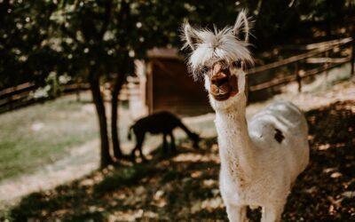 Offerta di PASQUA in Vineria tra enogastronomia e alpaca in Umbria!